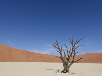 Akazie, Wüste, blauer Himmel