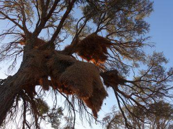 Webervögel, Namibia