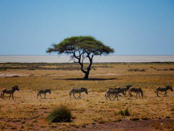 Zebras, Schirmakazie, Namibia, Nationalpark,
