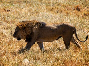 Namibia, Steppe, Löwe